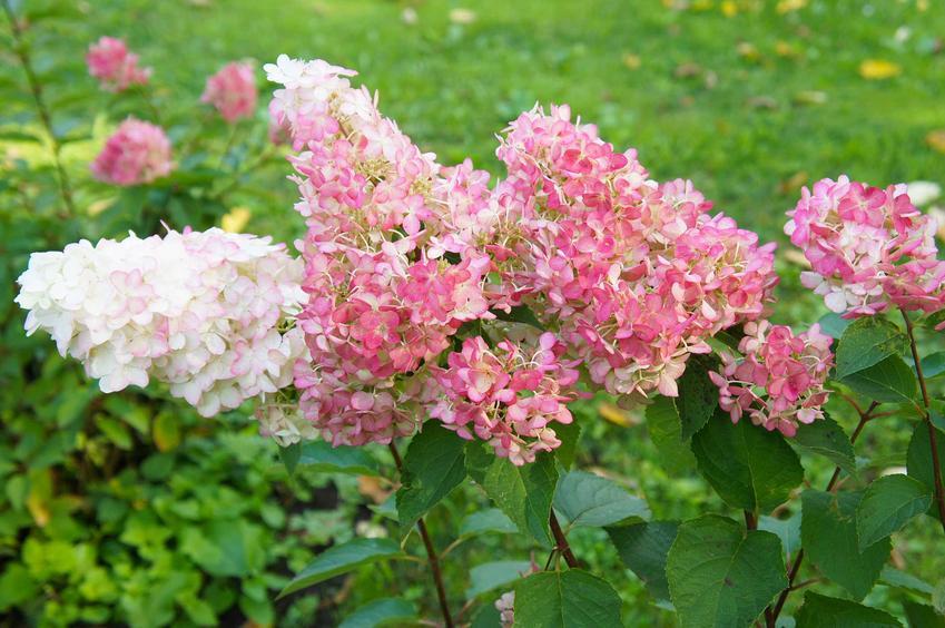 Hortensja magical candle w czasie kwitnienia jako popularna hortensja bukietowa hydrangea paniculata, wymagania, warunki uprawy, stanowisko, pielęgnacja