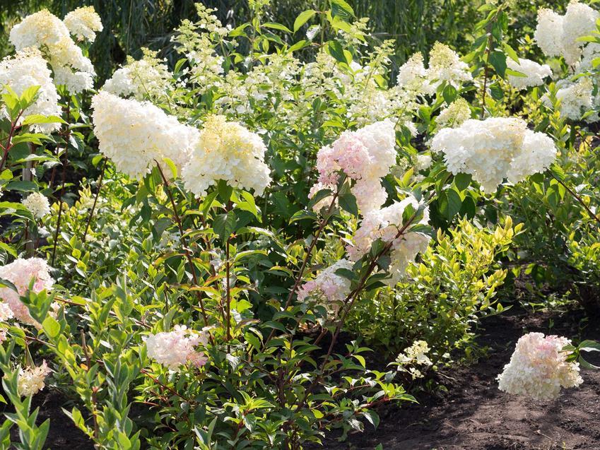 Hortensja Magical Moonlight w czasie kwitnienia jako popularna hortensja bukietowa hydrangea paniculata - wymagania, stanowisko, waruni, pielęgnacja