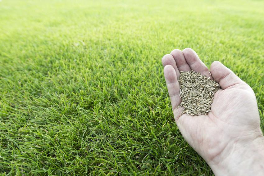 Nasiona trawy na tle trawnika, a także ich cena i polecana mieszanka traw ogrodowych na trawnik do ogródka przydomowego