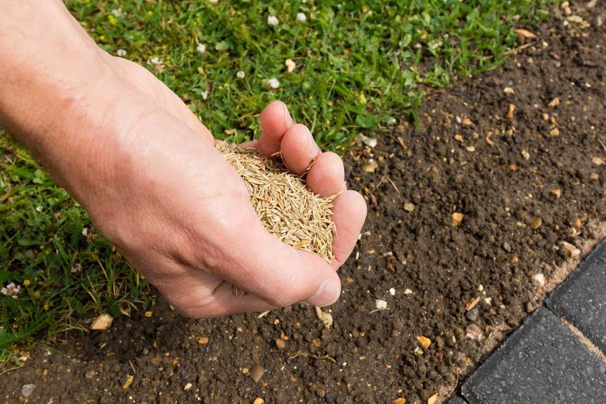 Nasiona trawy na dłoni podczas wysiewu, a także ich cena i polecana mieszanka traw ogrodowych na trawnik