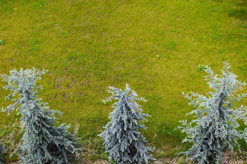 Młoda jodła kalifornijska w ogrodzie, a także jej uprawa, pielęgnacja i choroby oraz cena za sadzonki jodły kalifornijskie