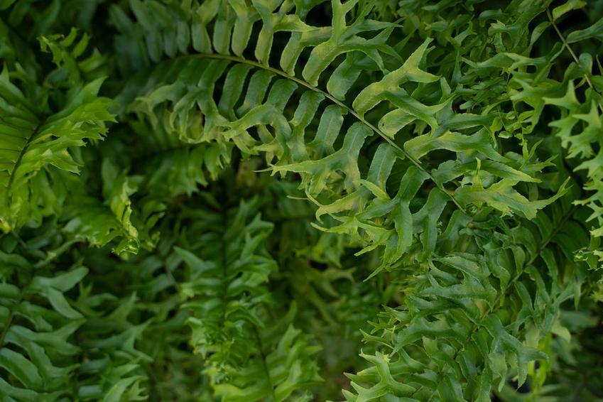 Nefrolepis i inne paprocie ogrodowe czy domowe, jak paproć leśna, zanokcica, pióropusznik strusi, a także ich uprawa i pielęgnacja