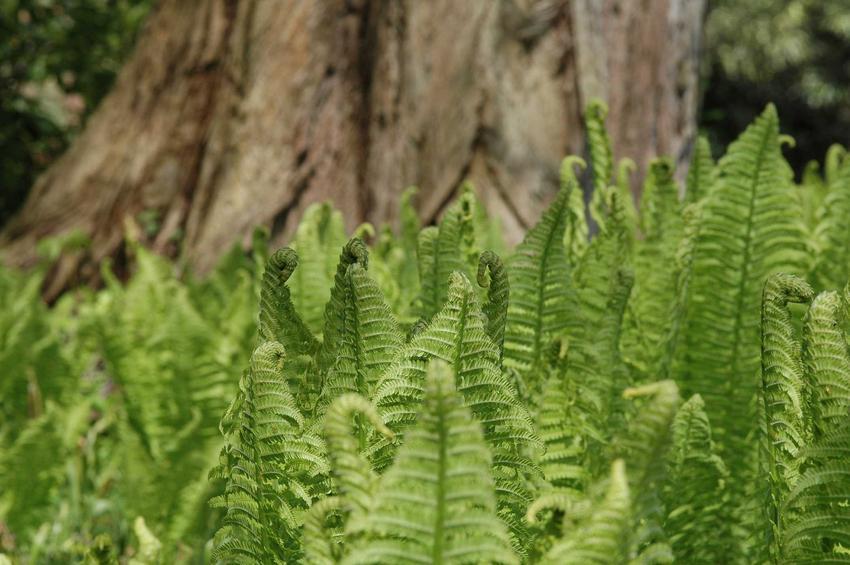 Pióropusznik strusi i inne paprocie ogrodowe czy domowe, jak paproć leśna, zanokcica, nefrolepis, a także ich uprawa i pielęgnacja