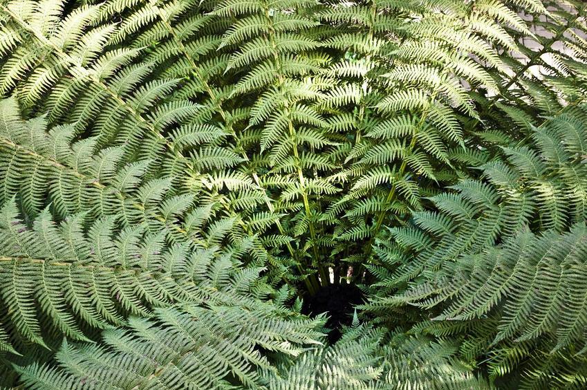 Paproć drzewiasta w Polsce i zbliżenie na liście, a także jej wymagania, uprawa, pielęgnacja oraz sadzonki paproci drzewiastych