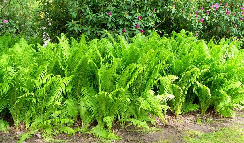 Długosz królewski, czyli ciekawa, popularna paroć, a także jej sadzenie, stanowisko, wymagania, uprawa i pielęgnacja w ogrodzie