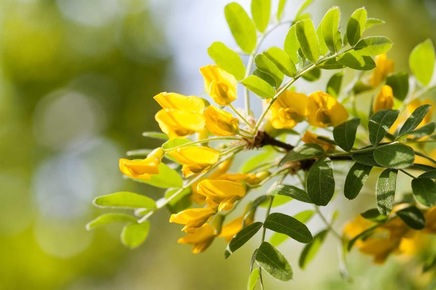 Kwitnąca karagana syberyjska lub akacja syberyjska oraz jej odmiany na żywoplot czy karagana szczepiona na pniu