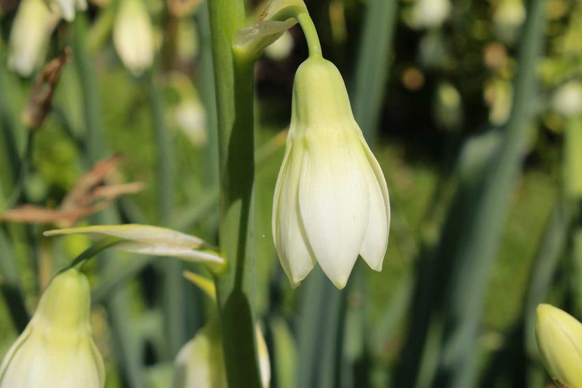 Kwiat galtonia biaława z łaciny galtonia candicans oraz jej uprawa, wymagania, stanowisko i pielęgnacja w ogrodzie