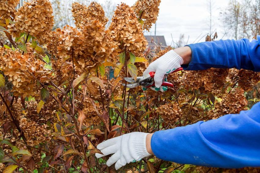 Przycinanie hortensji po kwitnieniu, czyli porady kiedy obcinać hortensje, a także podcinanie i cięcie kwiatów hortensji