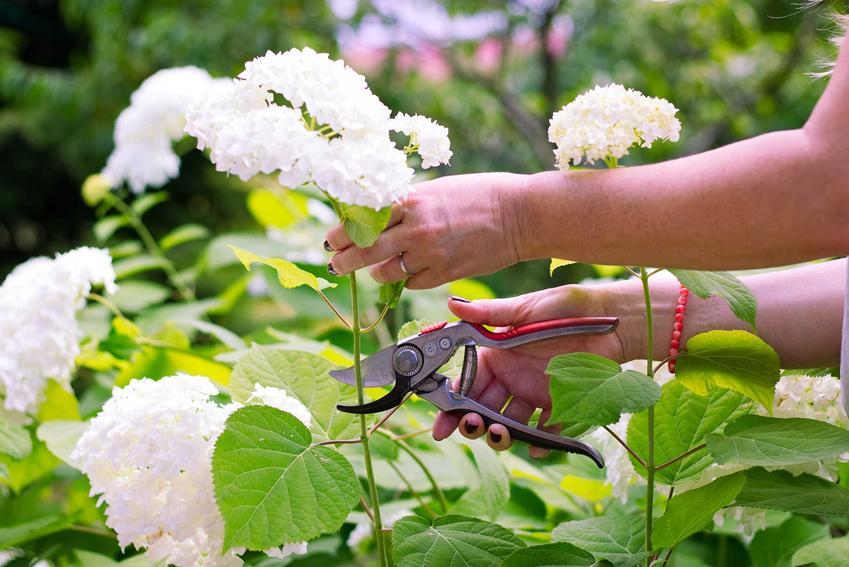 Przycinanie hortensji, czyli porady kiedy obcinać hortensje, a także podcinanie i cięcie kwiatów hortensji oraz wiosenne cięcie formujące