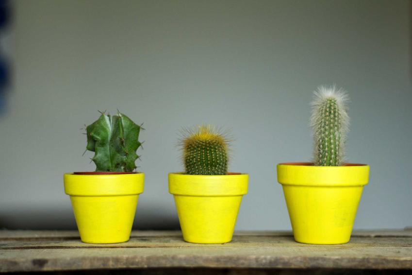 Kaktusy doniczkowe oraz porady, jak przesadzić kaktusa, czyli przesadzanie kaktusów w domu krok po kroku, podłoże i doniczki
