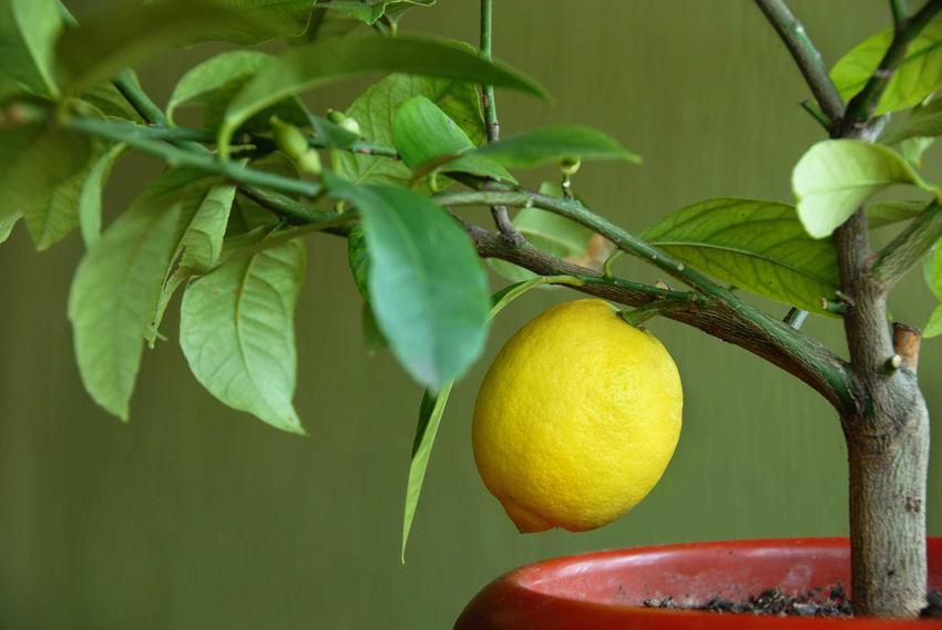 Cytryna skierniewicka na drzewku oraz jej sadzonki, pielęgnacja, zimowanie i uprawa cytryny zwyczajnej