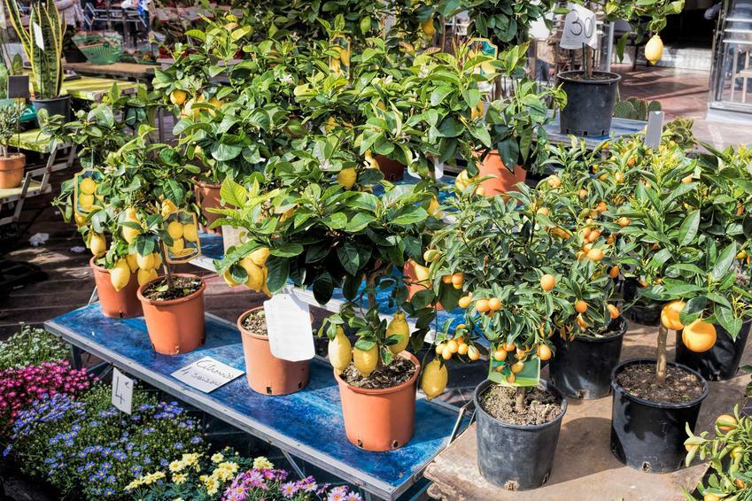 Cytryna skierniewicka w doniczkach oraz jej sadzonki, pielęgnacja, zimowanie i uprawa cytryny w doniczce w domu