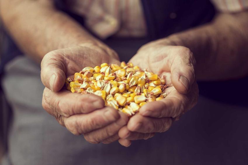 Nasiona kukurydzy na ziarno i na kiszonkę oraz cena za ziarna kukurydzy i siew kukurydzy w polu i w ogrodzie