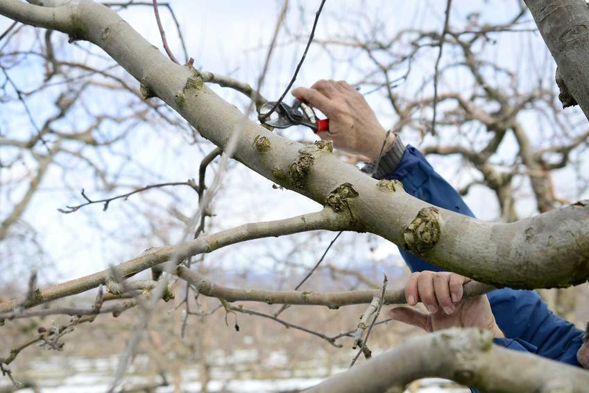 Przycinanie jabłoni latem i jesienią, czyli porady, kiedy przycinać jabłonie, a także przycinanie starych jabłoni