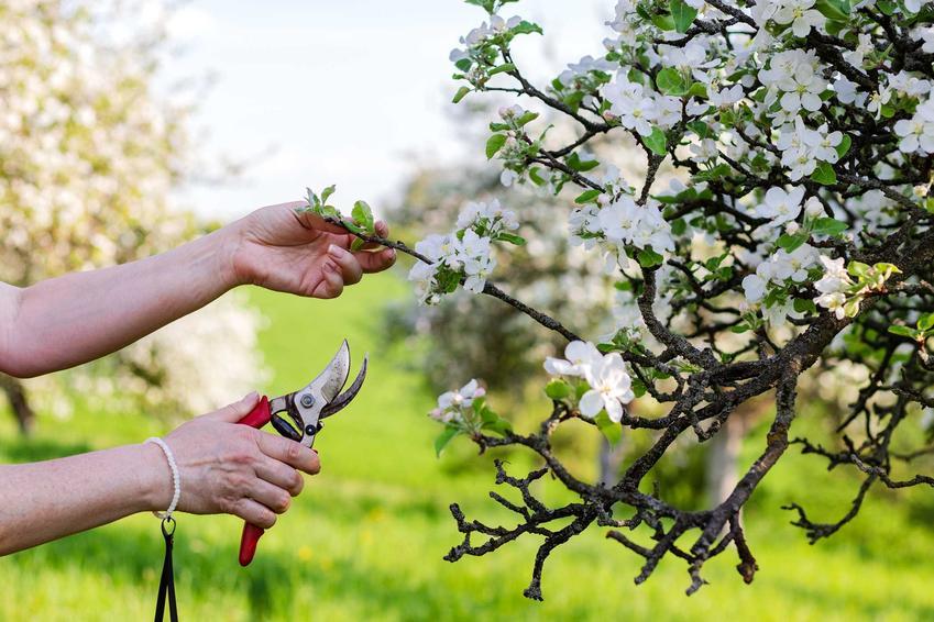 Przycinanie jabłoni, czyli porady, kiedy przycinać jabłonie jesienią i latem, a także przycinanie starych jabłoni