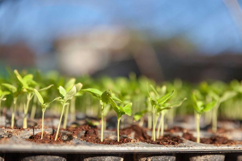 Rozsada warzyw, w tym rozsada pomidora, ozsada pora, rozsada selera, rozsada sałaty czy rozsada kalafiora do ogrodu