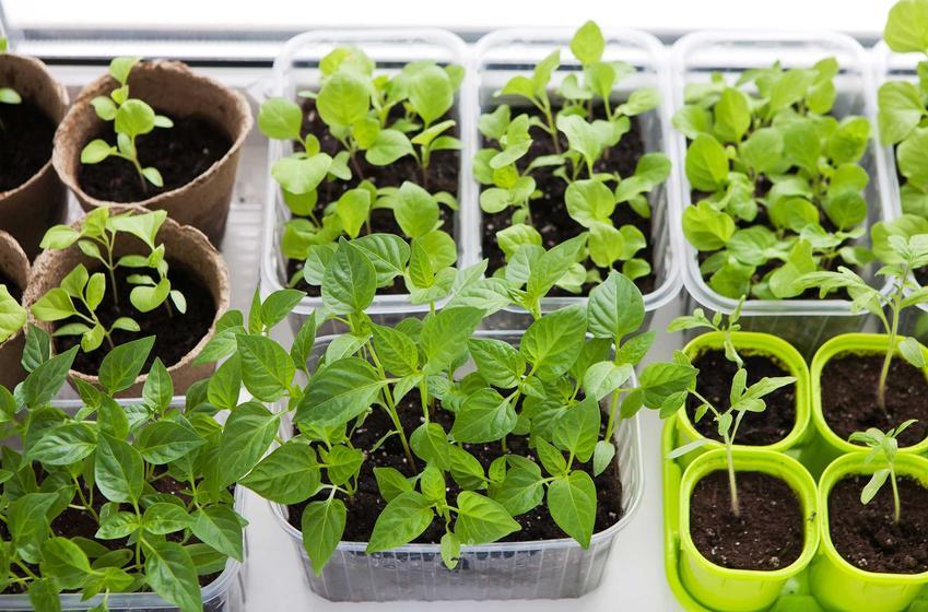 Rozsada warzyw, w tym rozsada pomidora oraz inne rozsady: pora, rozsada selera, rozsada sałaty lub kalafiora i ogórków
