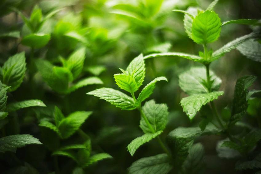 Świeża mięta i właściwości mięty, a także zastosowanie, działanie i własicwości lecznicze oraz pielęgnacja w doniczce i w ogrodzie