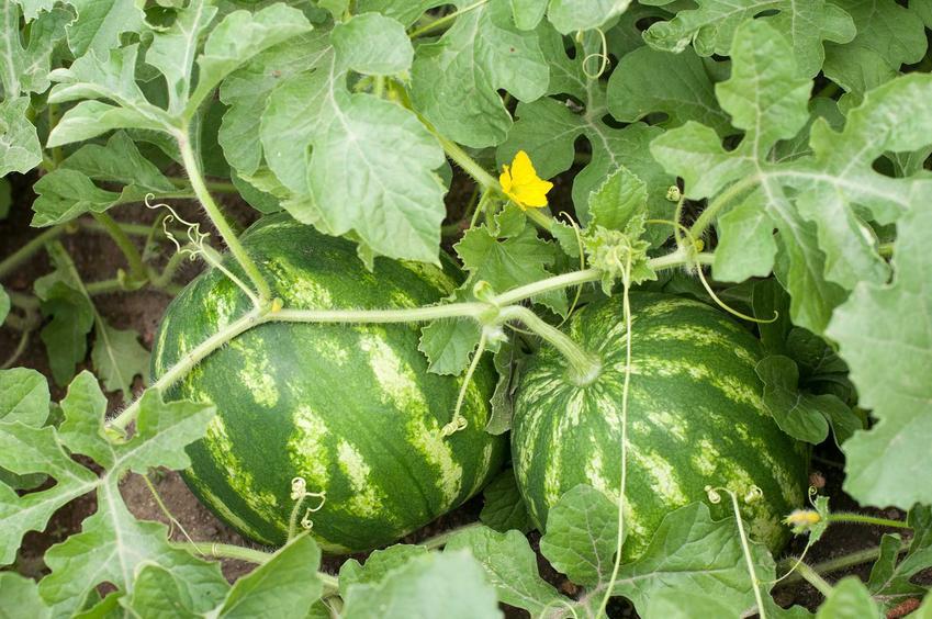 Arbuzy rosnące w ogrodzie w naszych warunkach klimatycznych, a także nasiona arbuza i uprawa arbuza z pestek lub sadzonki arbuza i sadzenie arbuza