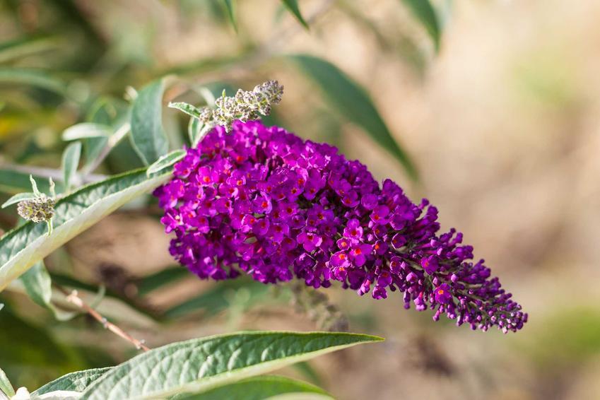 Motyli krzew w czasie kwitnienia, czyli krzew przyciągajacy motyle Budleja Dawida, a także jej uprawa i pielęgnacja