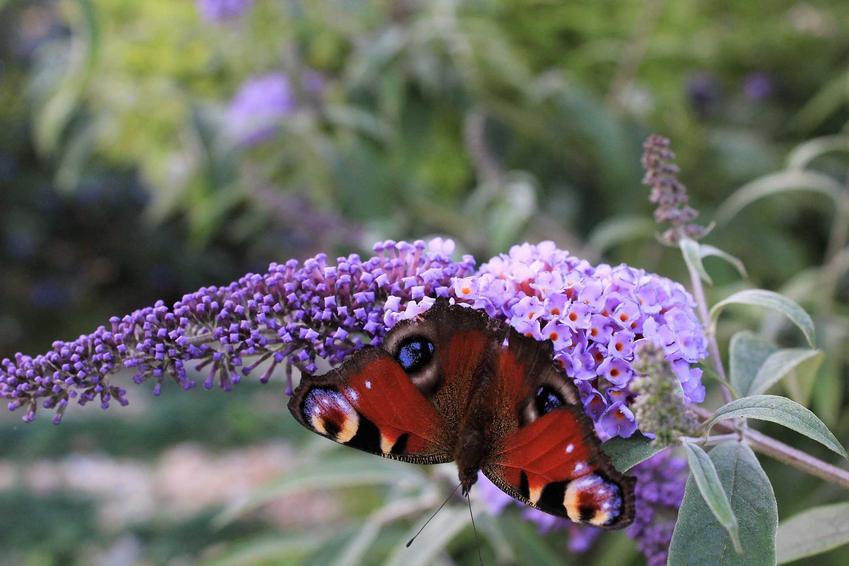 Motyli krzew, czyli krzew przyciągajacy motyle Budleja Dawida, a także warunki jej uprawy, stanowisko, wymagania i pielęgnacja