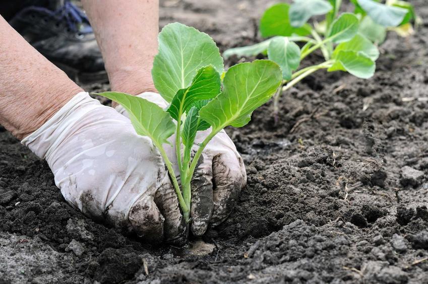 Sadzenie kapusty białej, a także rozsada kapusty, czyli sadzonki kapusty, w tym kapusty wczesnej czy kapusty pekińskiej