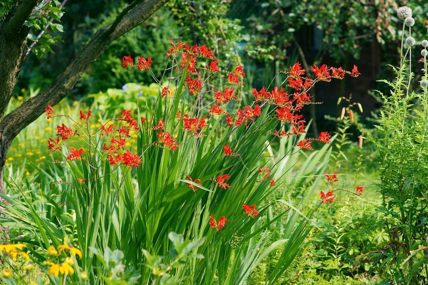 Kwiat krokosmia w czasie kwitnienia, a także jego sadzenie, uprawa i pielęgnacja w ogrodzie oraz wymagania roślinhy