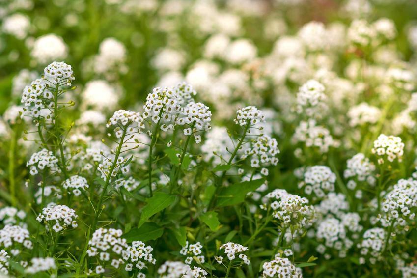 Rezeda wonna oraz rezeda żółta jako popularna wonna roślina ogrodowa i rabatowa, występowanie, wymagania, sadzenie, stanowisko, pielęgnacja - porady
