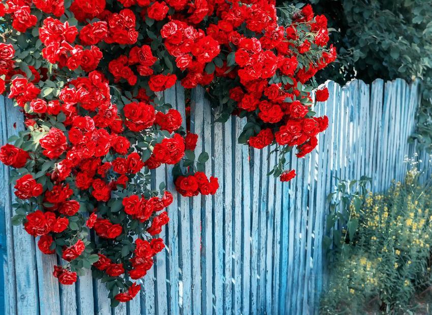 Róże na płocie oraz nawóz do róż, czyli nawożenie róż i porady, czym nawozić, a także najlepsze terminy nawożenia róż