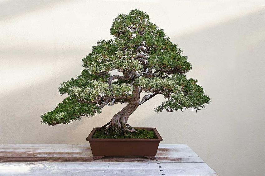 Drzewko bonsai w doniczce, a także ziemia do bonsai, czyli ziemia do drzewka bonsai uprawianego na parapecie
