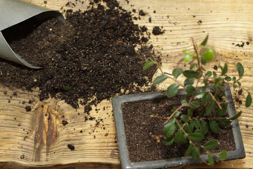 Sadzenie rośliny bonsai, a także ziemia do bonsai, czyli ziemia do drzewka bonsai krok po kroku