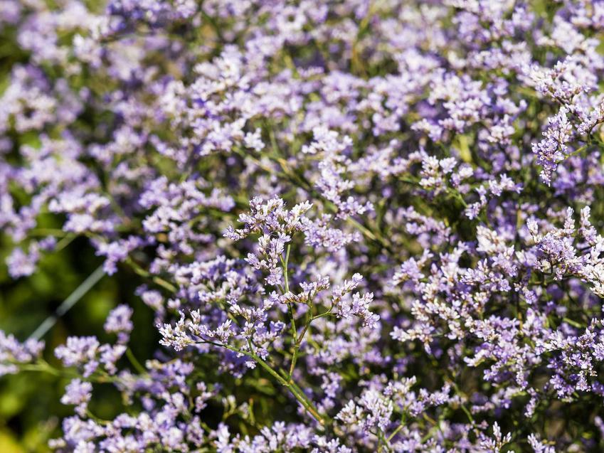 Zatrwian szerokolistny w czasie kwitnienia, a także zatrwian wrębny, zatrwian tatarski, ich uprawa i pielęgnacja