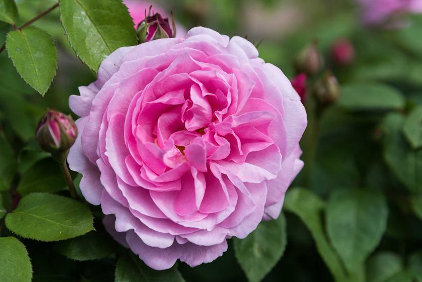 Róża angielska w czasie kwitnienia oraz pnące róże angielskie, sadzenie, pielęgnacja, uprawa, zastosowanie
