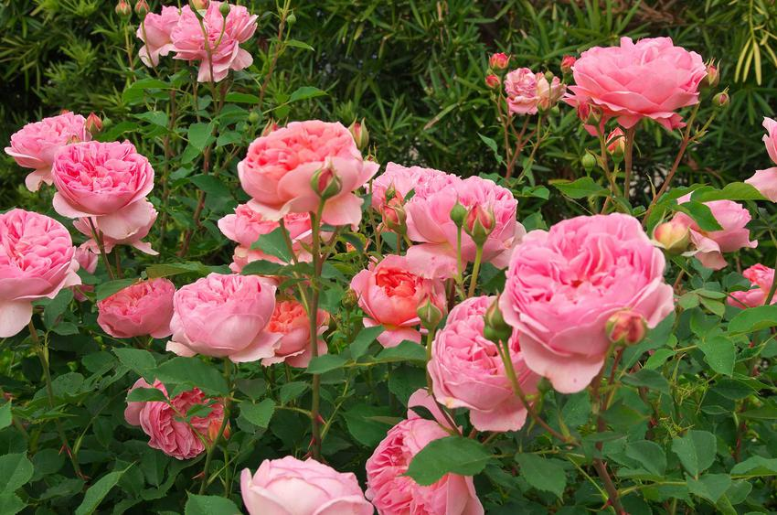 Róża angielska w czasie kwitnienia oraz pnące róże angielskie jako popularne róże parkowe, ich pielęgnacja, uprawa i sadzenie