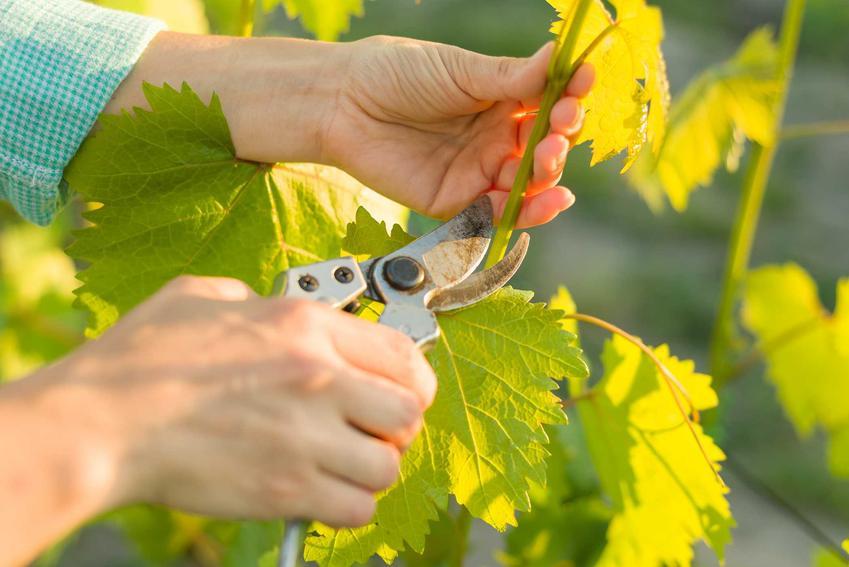 Przycinanie winogron wiosną i cięcie winogron po posadzeniu, czyli obcinanie winogron i winorośli krok po kroku