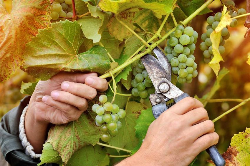 Przycinanie winogron wiosną i cięcie winogron po posadzeniu, czyli obcinanie winorośli krok po kroku i zastosowanie