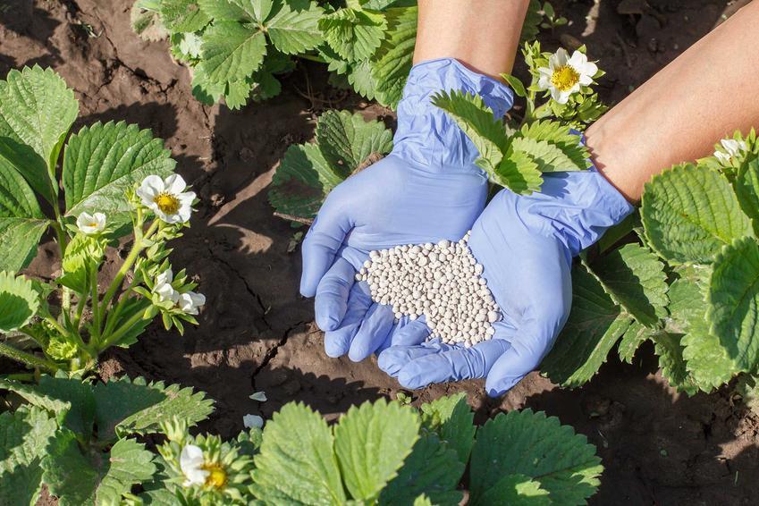 Uprawa i nawożenie truskawek, a także nawóz do truskawek i porady, kiedy zasilać truskawki w uprawie gruntowej