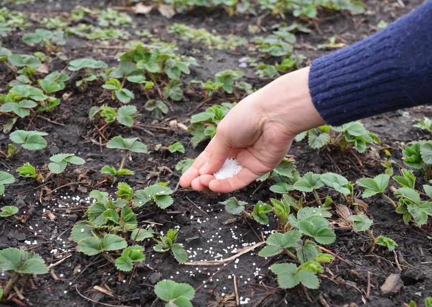 Nawożenie truskawek i uprawa, a także nawóz do truskawek i porady, kiedy sypać nawóz pod truskawki w uprawie w gruncie
