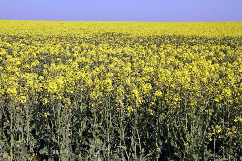 Uprawa rzepaku ozimego oraz nawożenie rzepaku, czyli nawóz pod rzepak jesienią i na wiosnę, najlepsze preparaty do rzepaku