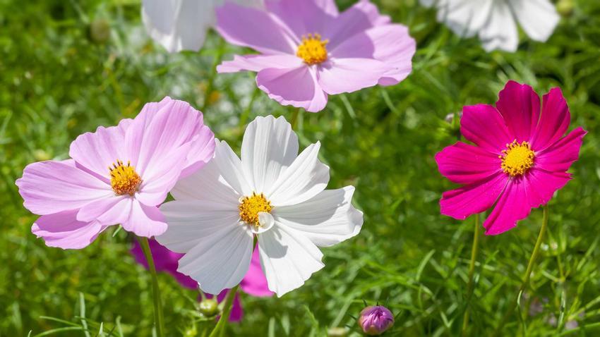 Kwiat kosmos onętek w czasie kwitnienia, czyli ciekawa roślina, charakterystyka, odmoany, warunki uprawa, stanowisko i pielęgnacja - porady