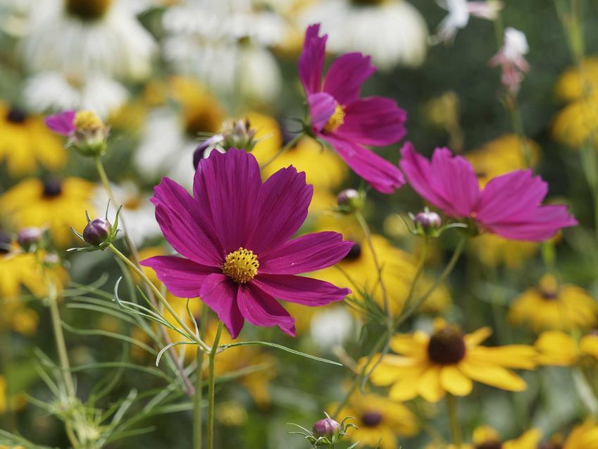 Kwiat kosmos onętek Cosmos bipinnatus w czasie kwitnienia, czyli ciekawa roślina do ogrodu, jej uprawa, charakterystyka i pielęgnacja - porady