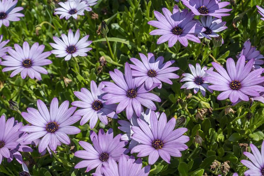 Kwiat dimorfoteka ogrodowa dimorphotheca w czasie kwitnienia oraz dimorfoteka pomarańczowa czy dimorfoteka mieszańcowa