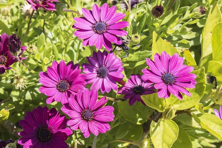 Kwiat dimorfoteka ogrodowa dimorphotheca w czasie kwitnienia oraz dimorfoteka pomarańczowa i jej sadzenie, pielęgnacja oraz uprawa