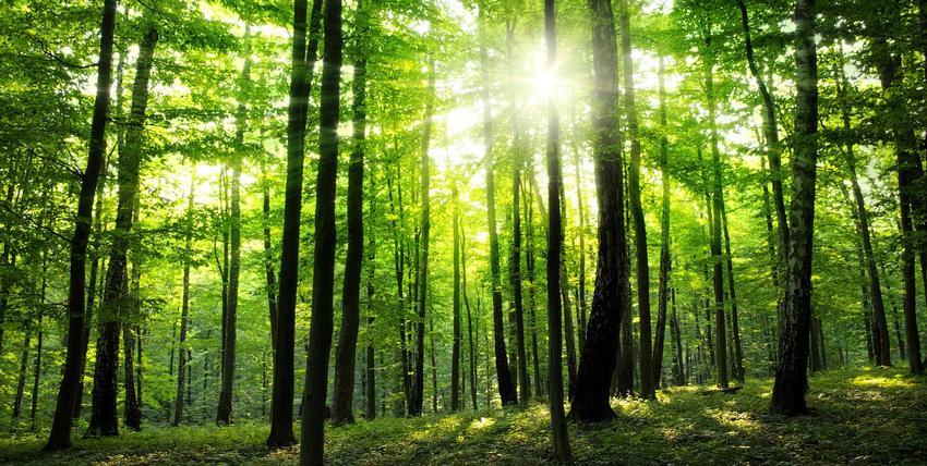 Drzewa w lesie i przebijające słońce, a także pielęgnacyjne cięcie lasu i cięcia pielęgnacyjne drzew liściastych i iglastych