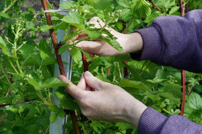 Przycinanie jeżyn, czyli jeżyna bezkolcowa i cięcie jeżyny bezkolcowej oraz uprawa w ogrodzie przydomowym