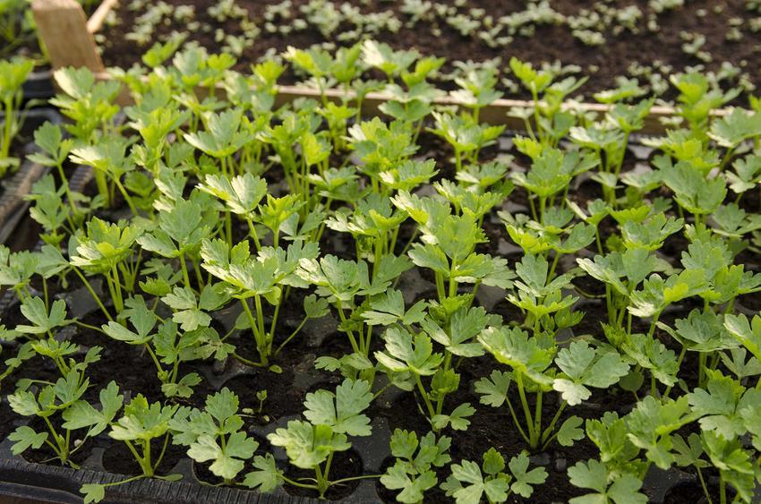 Rozsada selera, czyli sadzonki selera i flance, a także uprawa selera korzeniowego i naciowego krok po kroku