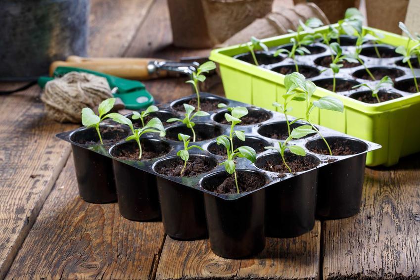 Pikowanie i wysiew warzyw, w tym wysiew buraków czerwonych, wysiew fasolki, wysiew ogórków i kiedy siać warzywa
