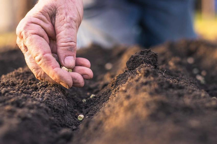 Wysiew warzyw w ogrodzie, w tym wysiew buraków czerwonych, wysiew fasolki, wysiew ogórków i kiedy siać warzywa do ogrodu