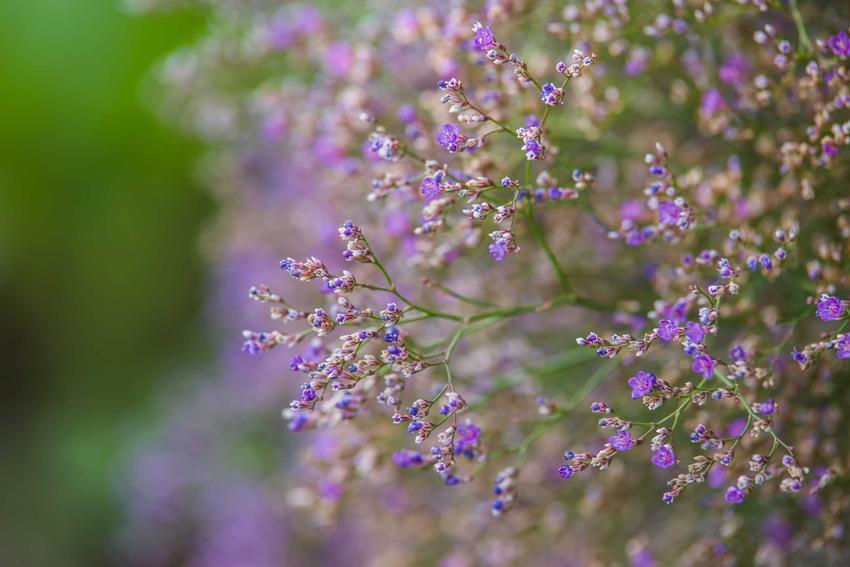 Kwiat zatrwian i jego odmiany, jak zatrwian wrębny, zatrwian tatarski, zatrwian szerokolistny oraz uprawa i pielęgnacja
