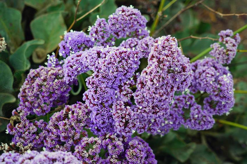 Zatrwian wrębny w czasie kwitnienia, a także zatrwian tatarski i zatrwian szerokolistny, ich uprawa i pielęgnacja